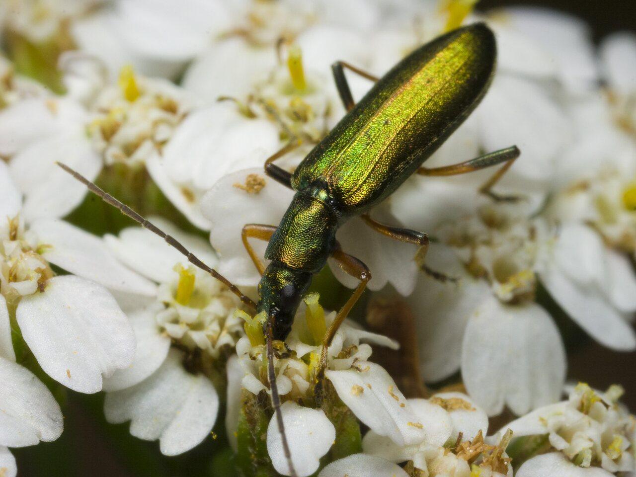 Chrysanthia-nigricornis-2076.jpg