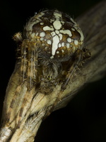 Araneus diadematus · paprastasis kryžiuotis