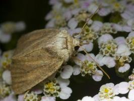 Lepidoptera · drugys