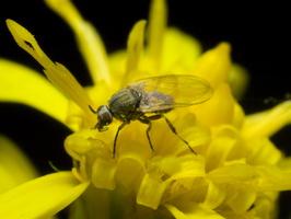 Diptera 2129