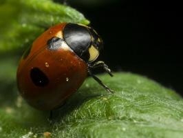 Coccinella quinquepunctata · penkiataškė boružė