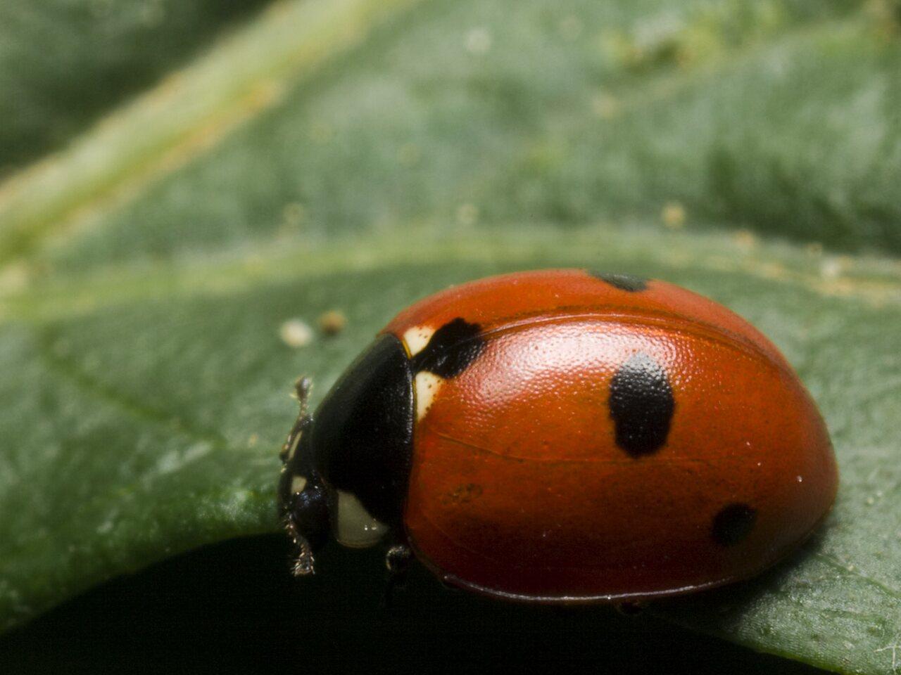 Coccinella-quinquepunctata-2153.jpg