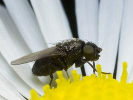 Diptera 2158