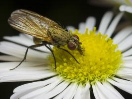Anthomyiidae · žiedenė