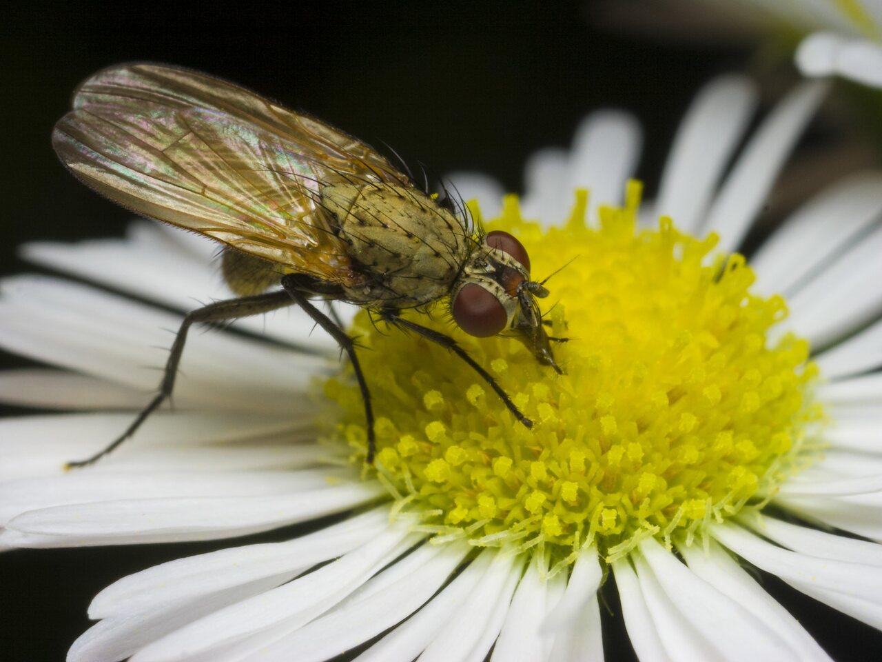 Diptera-2163.jpg