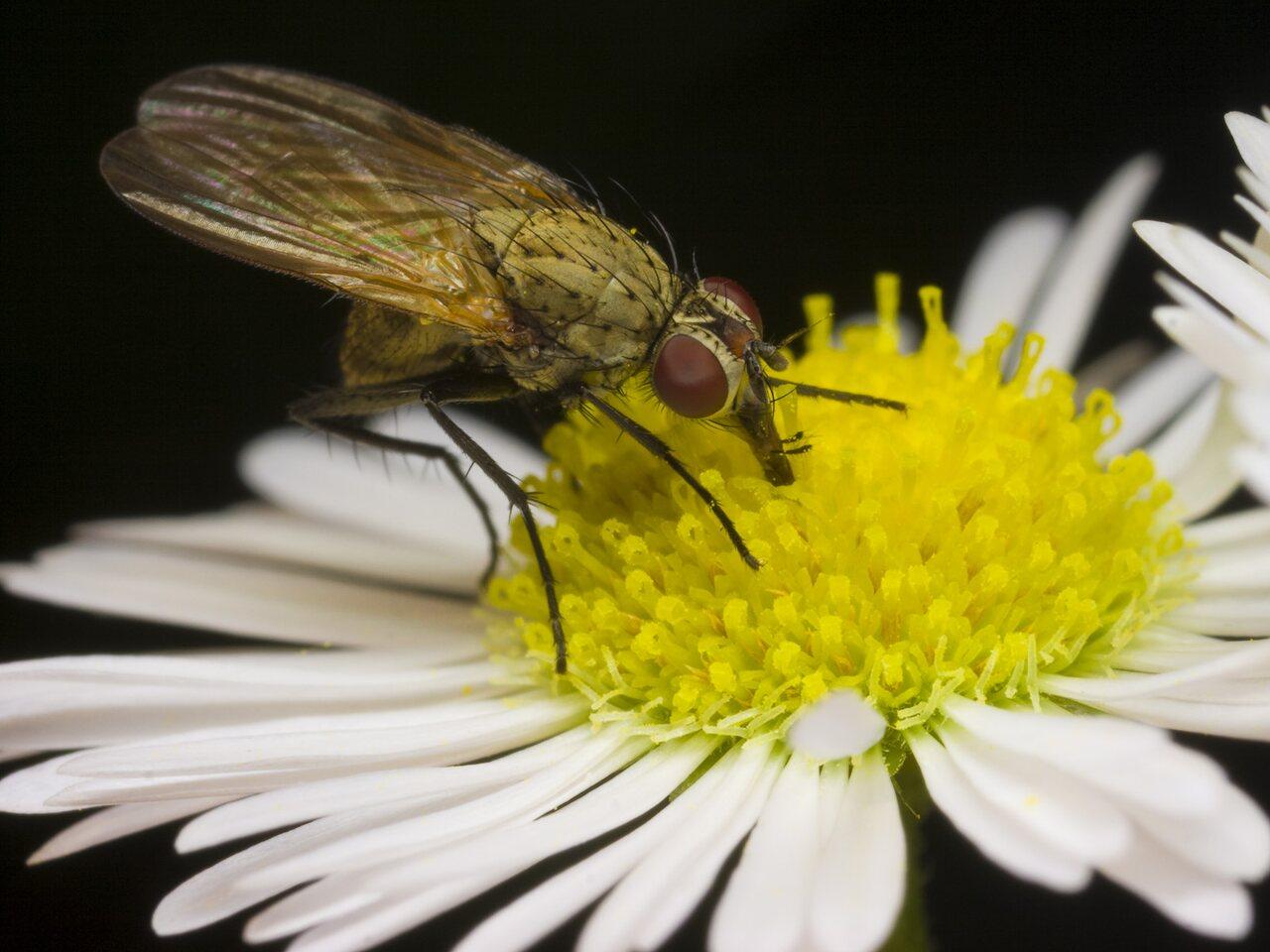 Diptera-2164.jpg
