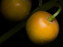 Convallaria majalis · paprastoji pakalnutė