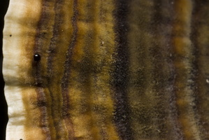 Coltricia perennis · žiemkentė sausapintė