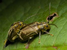 Pyrrhalta viburni mating · putininis aksominukas poruojasi
