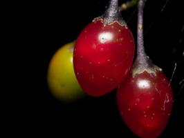 Solanum dulcamara · karklavijas
