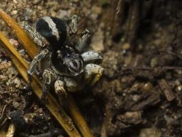 Aelurillus insignitus, male · lenktajuostis lankininkas ♂