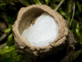 Clubiona caerulescens eggsack 2522