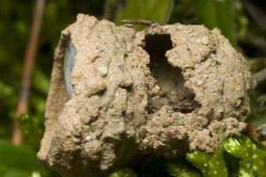 Clubiona caerulescens eggsack · maišiavoris, kiaušinėliai