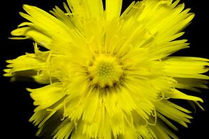 Asteraceae · astriniai