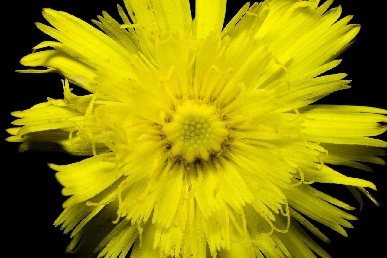 Asteraceae-2548.jpg