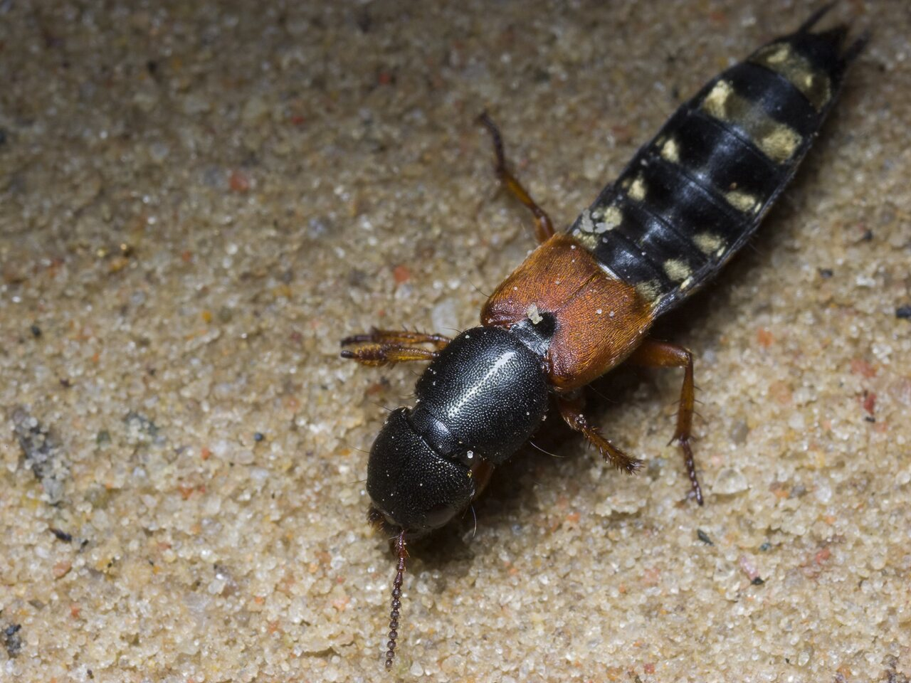 Platydracus-stercorarius-2570.jpg
