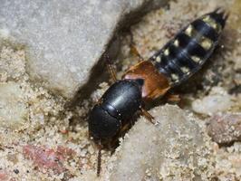 Platydracus stercorarius · trumpasparnis