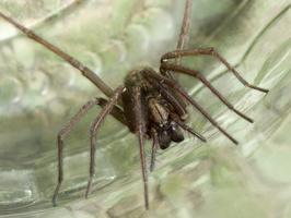 Tegenaria atrica female · plyšinis kampavoris ♀