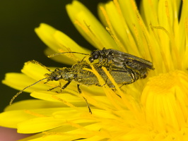 Oedemera virescens mating · laibavabalis poruojasi
