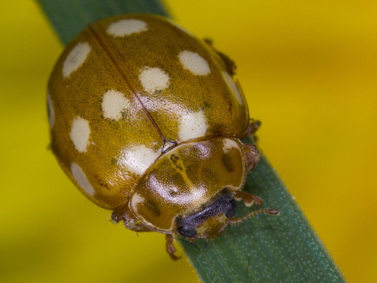 Calvia-quatuordecimguttata-3136.jpg