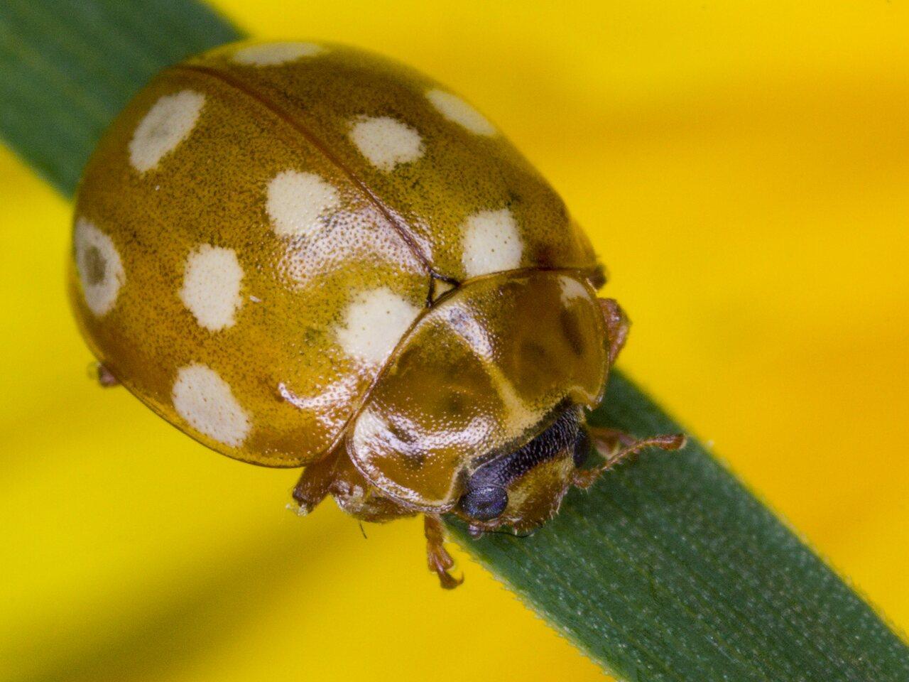 Calvia-quatuordecimguttata-3137.jpg