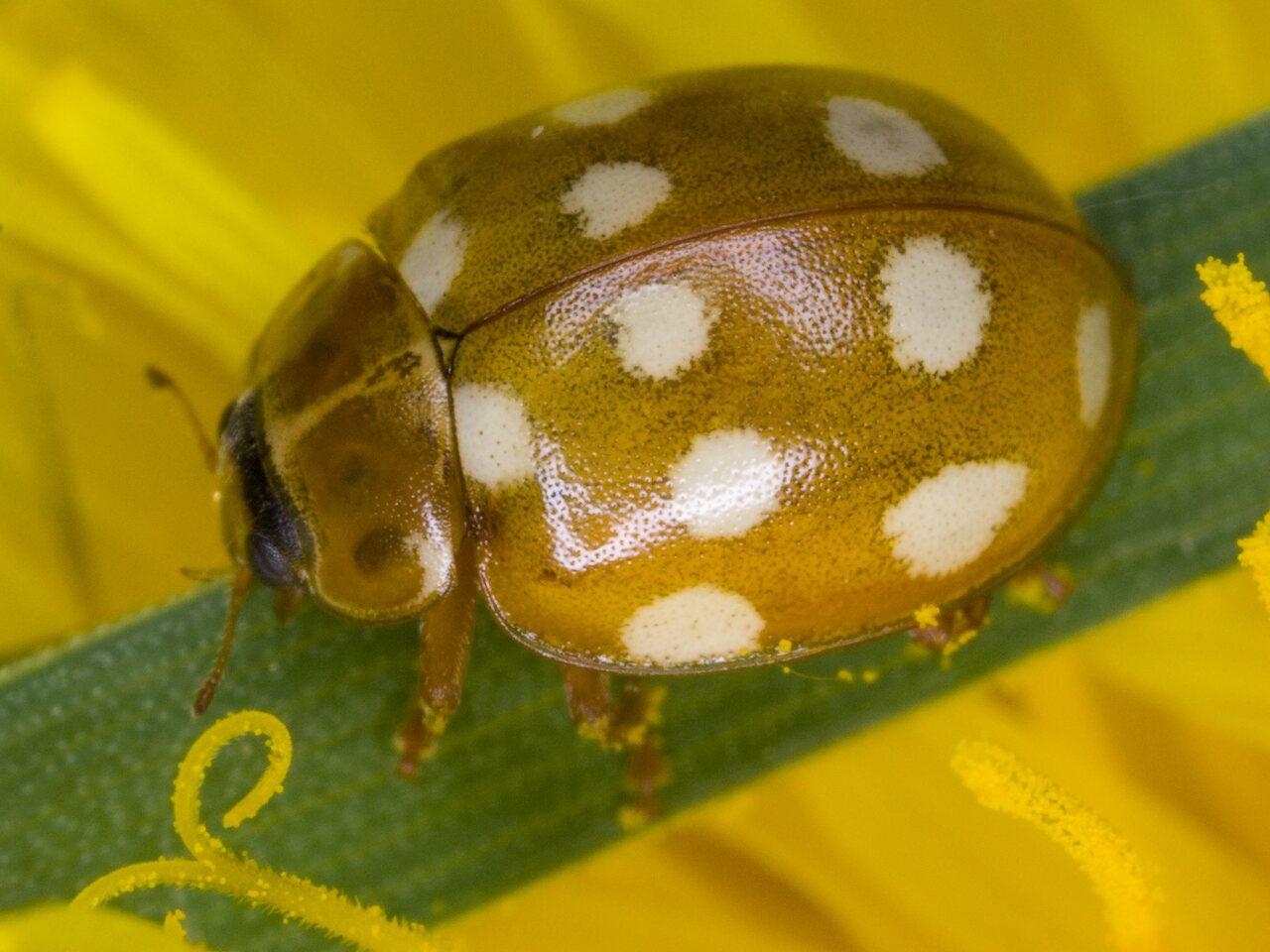 Calvia-quatuordecimguttata-3139.jpg
