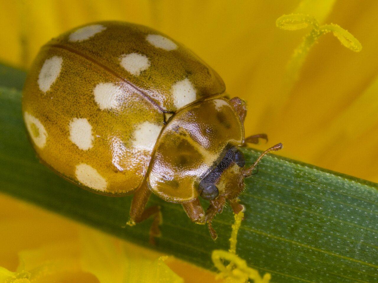 Calvia-quatuordecimguttata-3140.jpg
