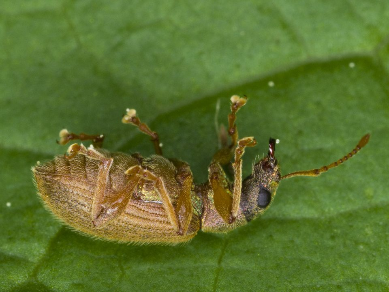 Curculionidae-3144.jpg