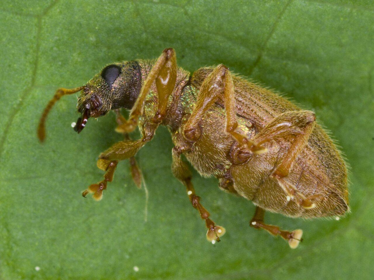 Curculionidae-3145.jpg