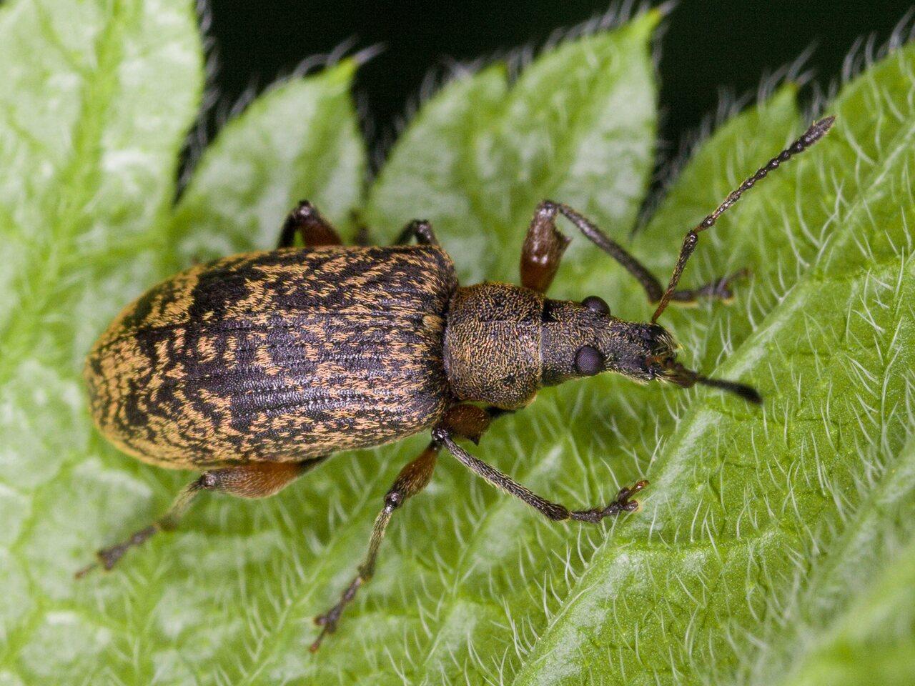 Curculionidae-3151.jpg