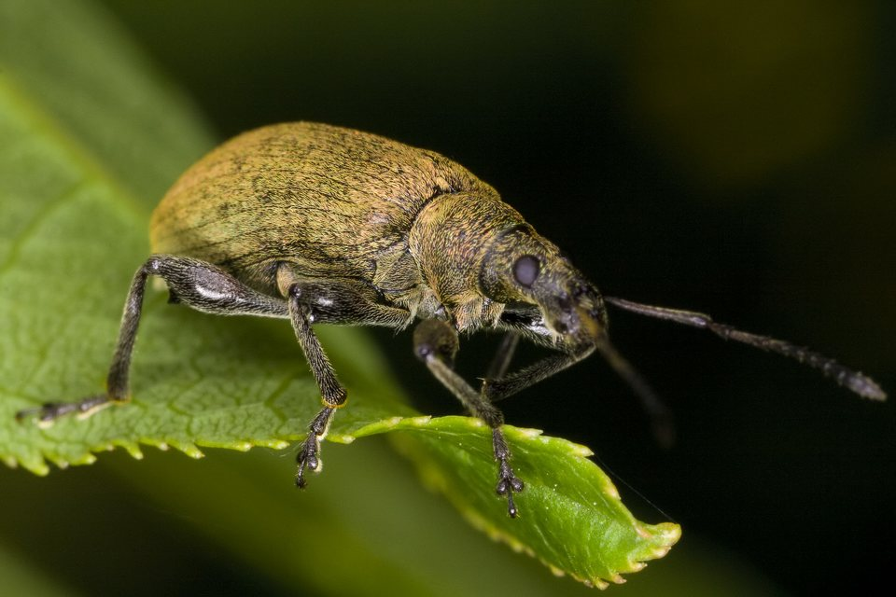 Phyllobius-pyri-3152.jpg