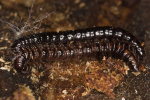 Strongylosoma stigmatosum mating · dviporiakojis šimtakojis poruojasi