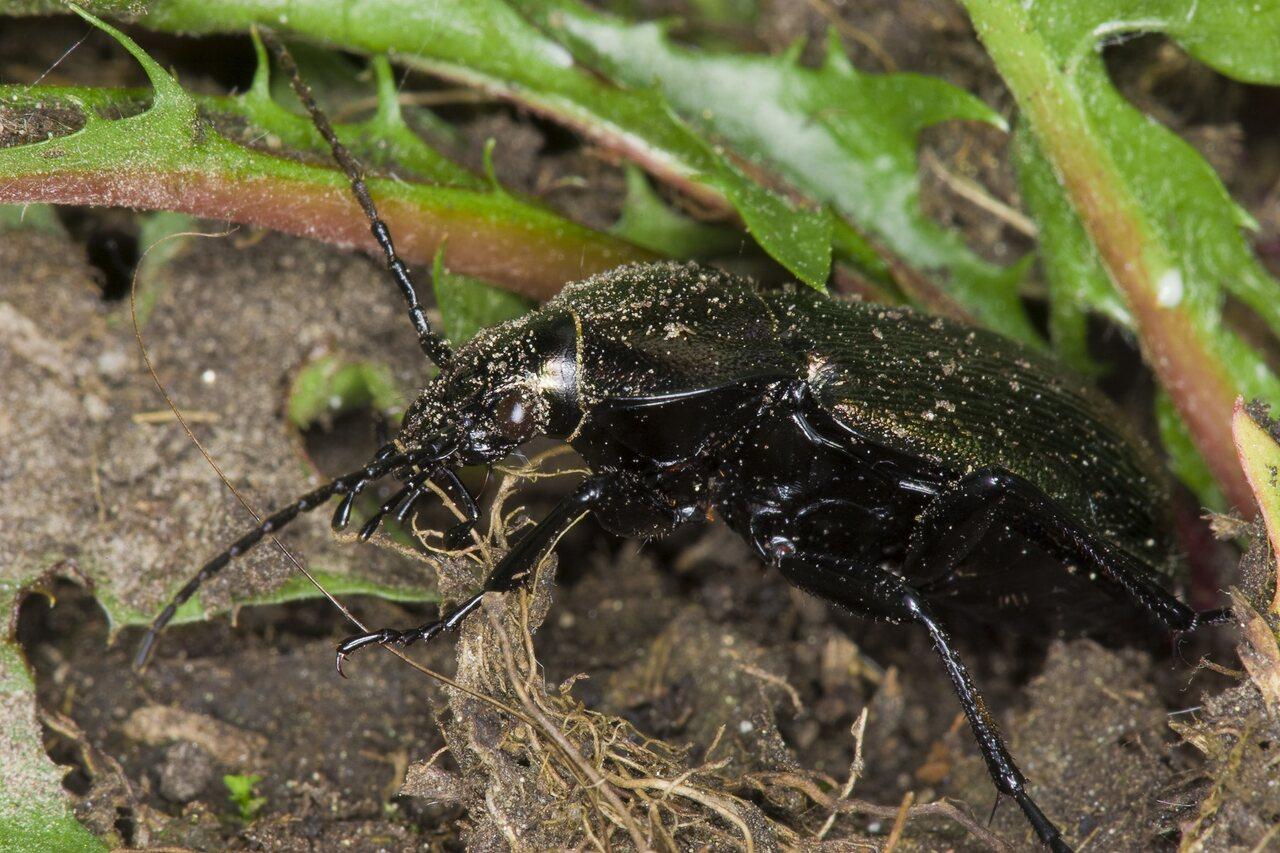 Carabidae-3177.jpg