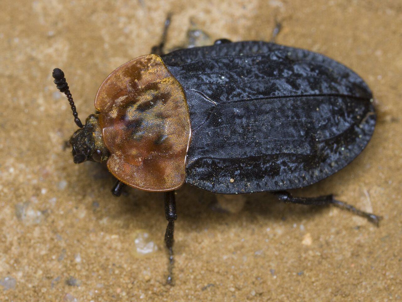 Oiceoptoma-thoracicum-3208.jpg