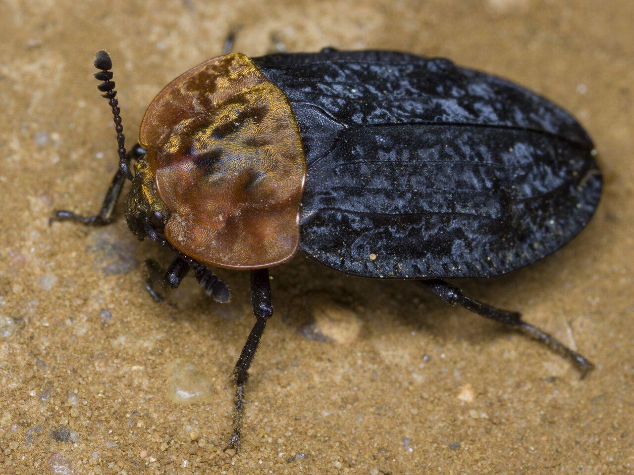 Oiceoptoma-thoracicum-3209.jpg
