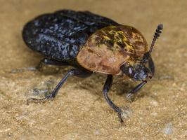 Oiceoptoma thoracicum · raudonnugaris maitvabalis