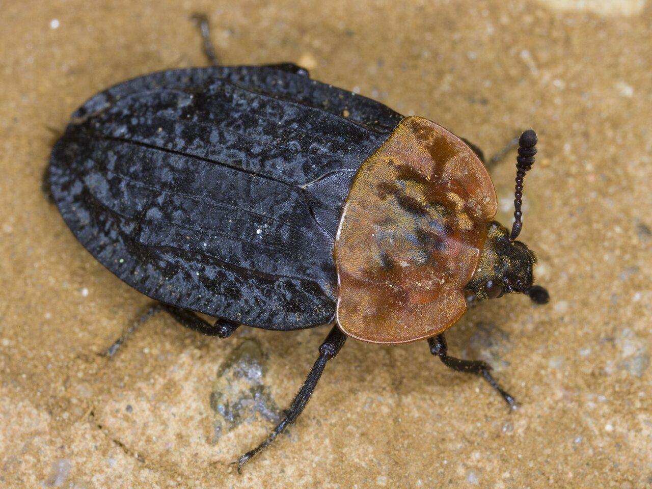 Oiceoptoma-thoracicum-3212.jpg