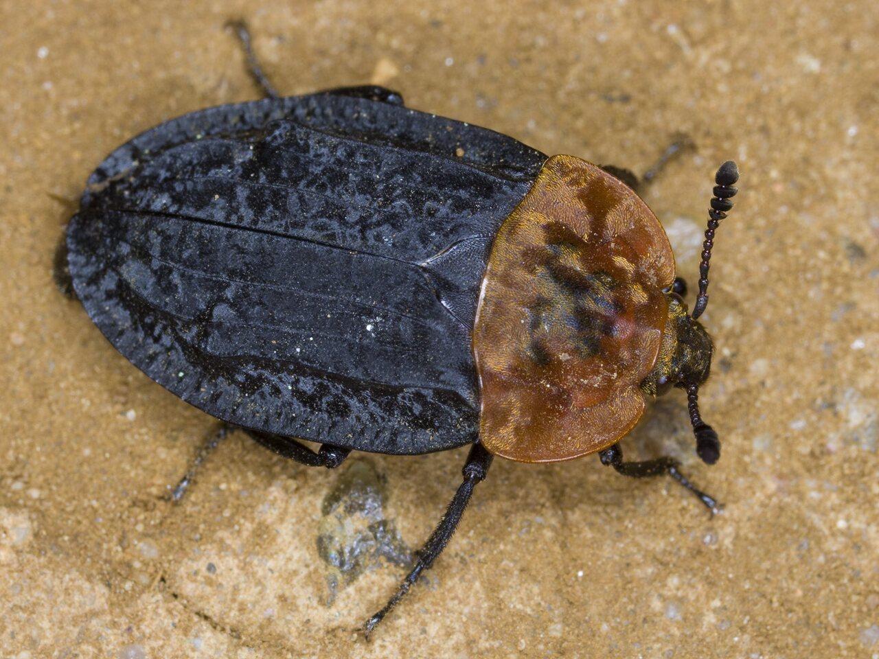 Oiceoptoma-thoracicum-3213.jpg