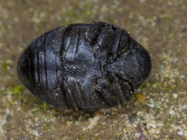 Byrrhus pilula · paprastasis kamuolvabalis