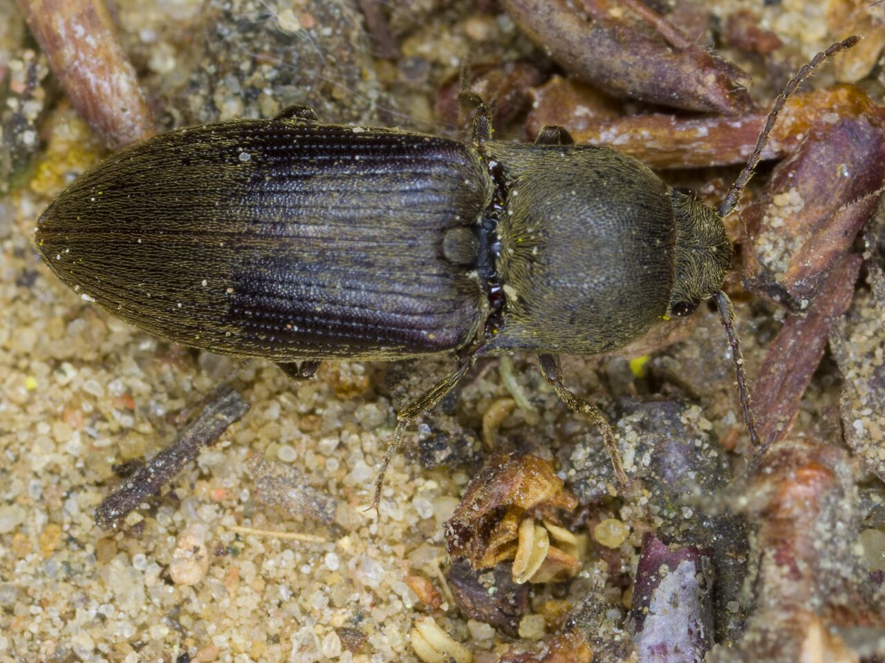 Agriotes-obscurus-3223.jpg