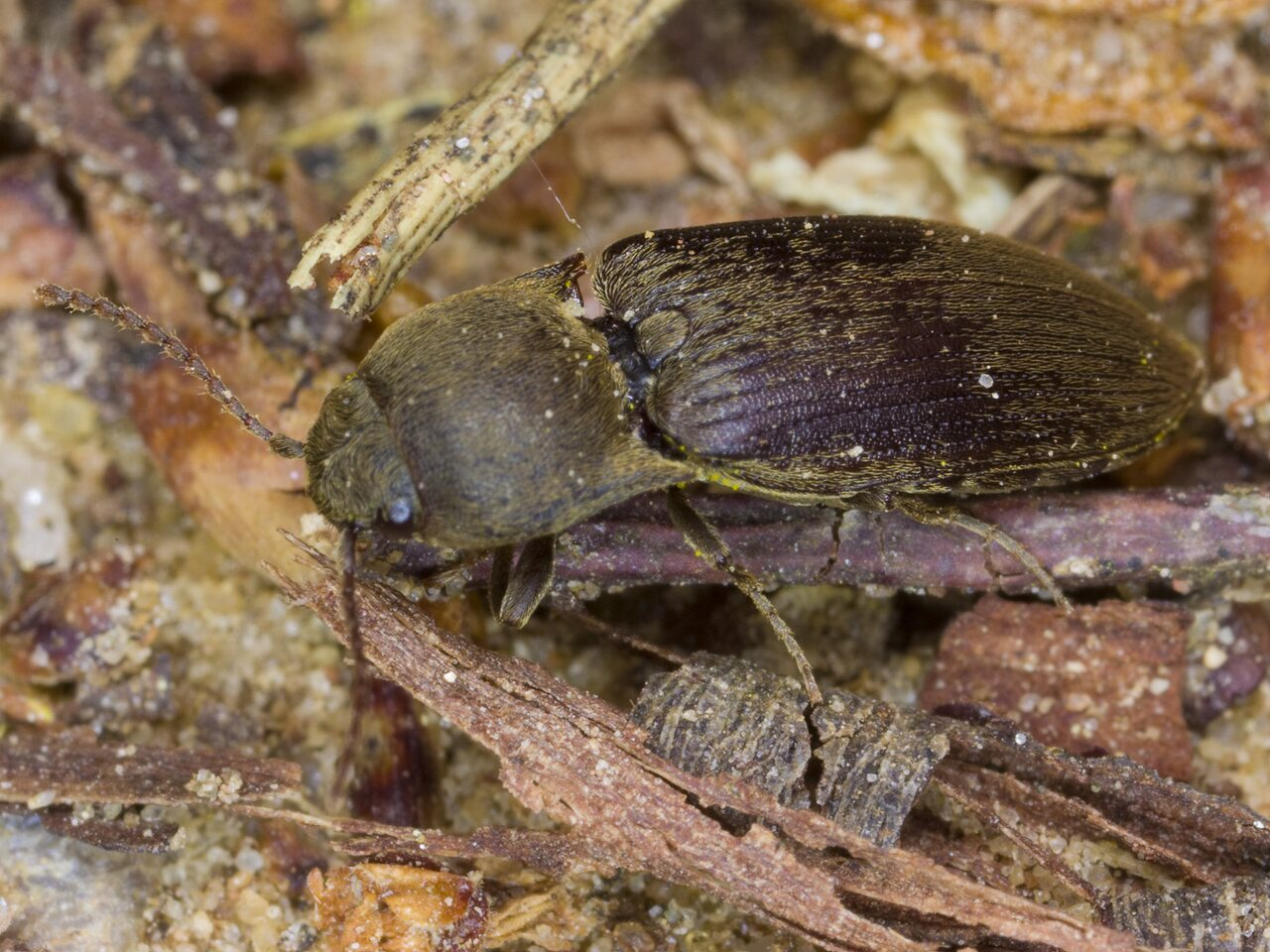 Agriotes-obscurus-3224.jpg