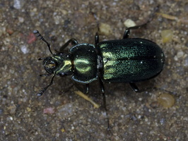 Platycerus caraboides male 3251