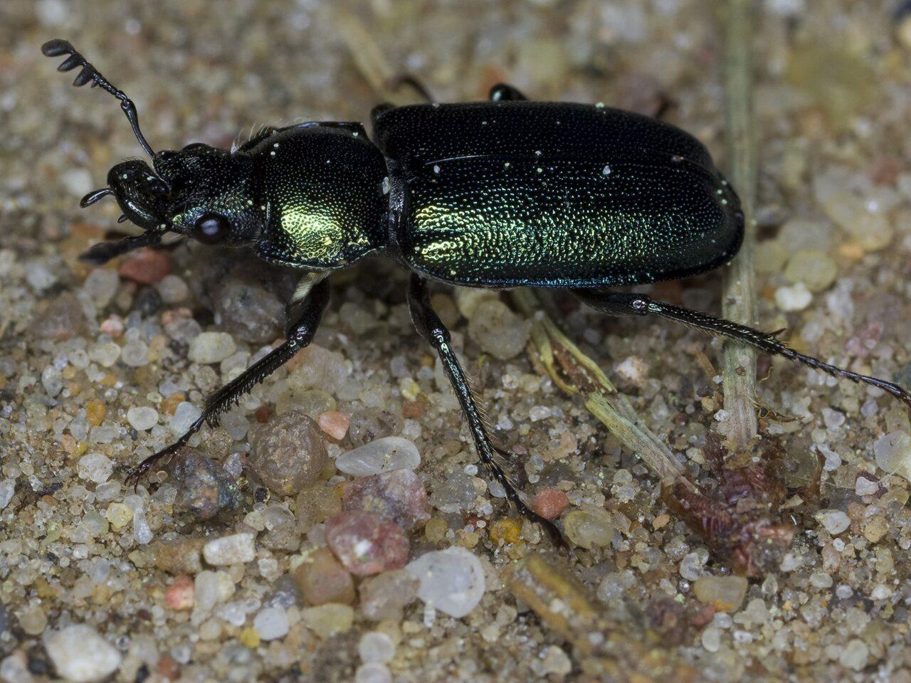 Platycerus-caraboides-3254.jpg