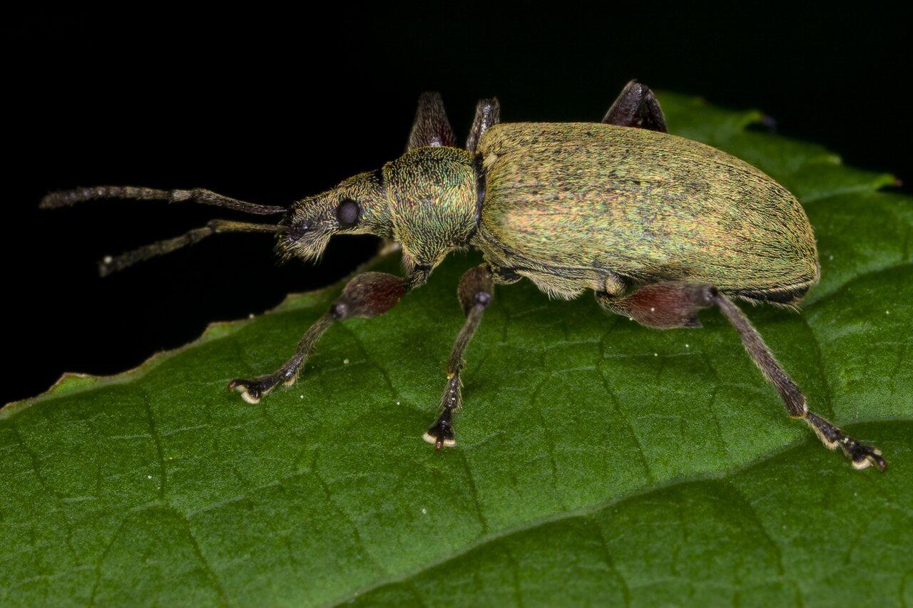 Phyllobius-glaucus-3261.jpg