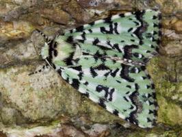 Noctuidae · pelėdgalviai
