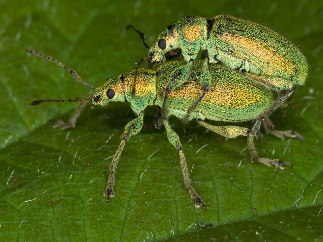 Phyllobius-argentatus-3267.jpg