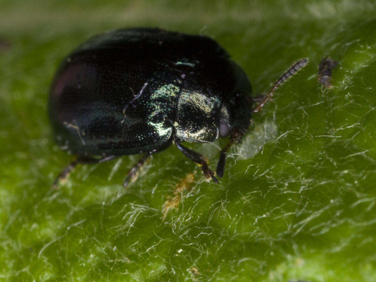 Plagiosterna-aenea-3271.jpg