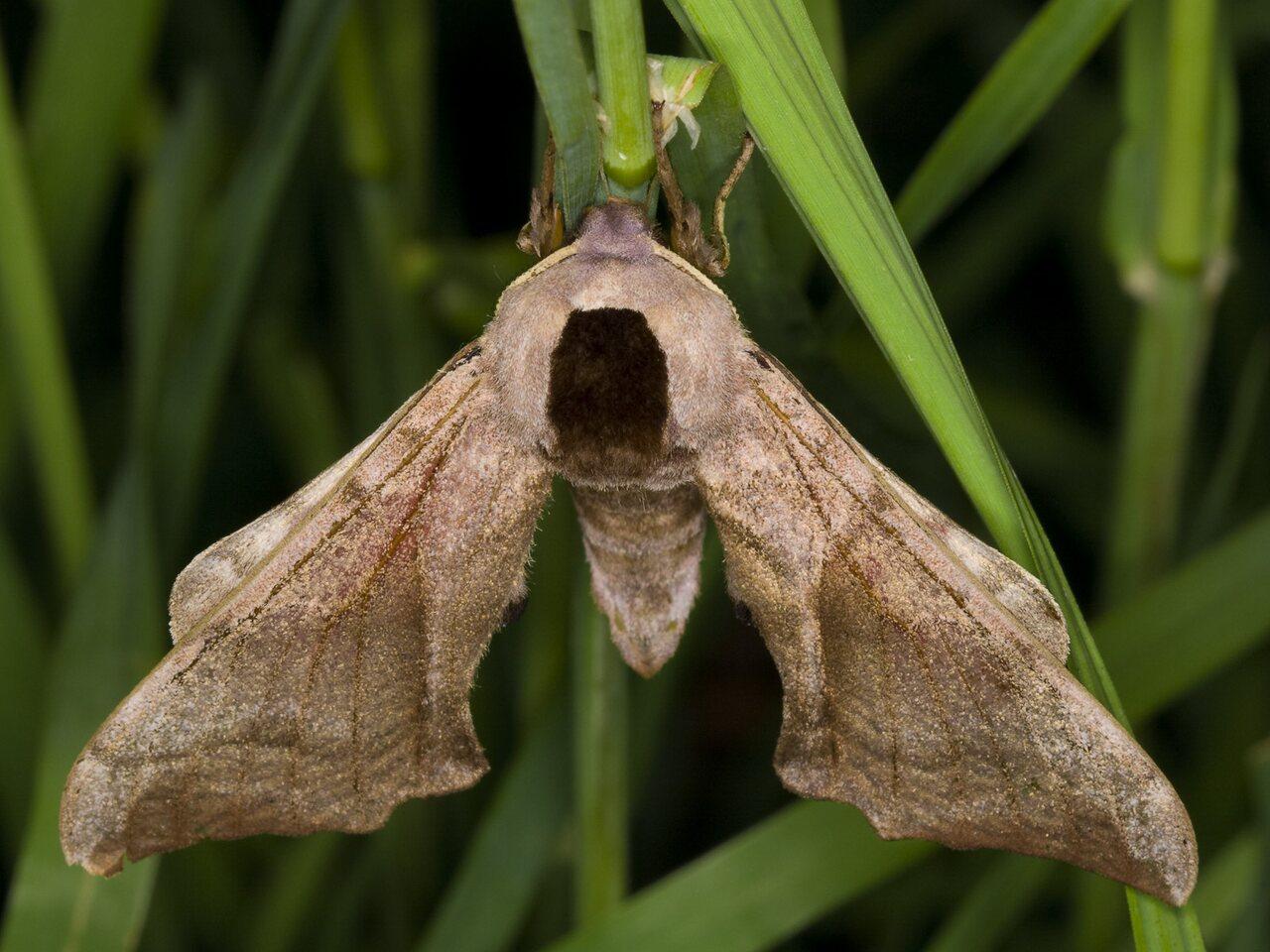 Smerinthus-ocellatus-3286.jpg