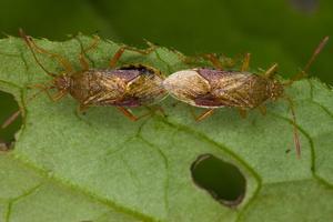 Rhopalus maculatus · geltonpilvė kampuotblakė