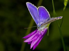 Polyommatus amandus male · didysis melsvys ♂